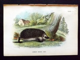 Lloyd 1890's Antique Print. Common Hedgehog